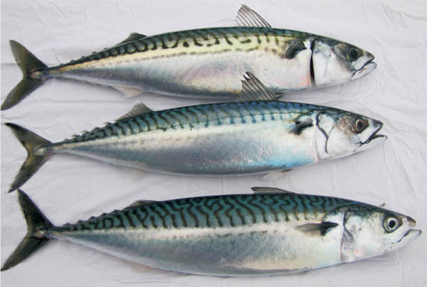 bharat ias - What mackerel and a volcano can tell us about climate change